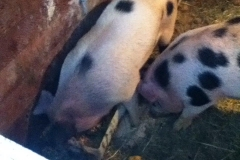 two spotted pigs eating