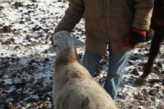 man feeding a white sheep